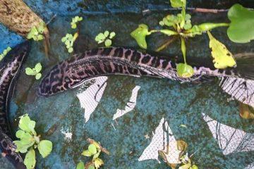 Tips Jitu Budidaya Ikan Toman Di Kolam Terpal
